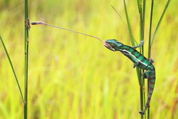 Camaleões têm saliva 400 vezes mais 'gosmenta' que a dos humanos