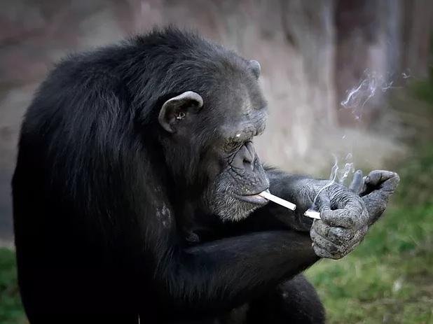 Fotos chocantes mostram chimpanzé fumando em Zoológico na Coreia do Norte