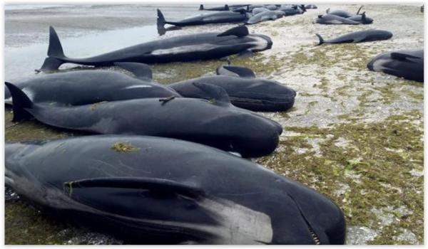 Centenas de Baleias morem  encalhada na Nova Zelândia