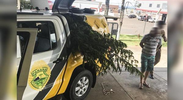 Plantação de maconha é flagrada em Barracão