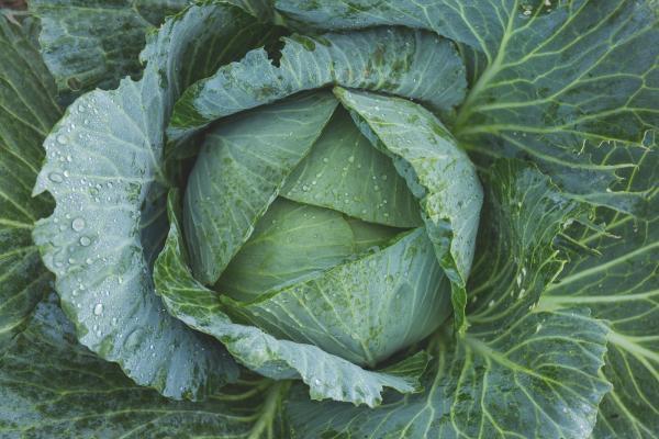Como repolho, couve e brócolis ajudam a impedir o surgimento de câncer