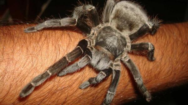 Pesquisadores brasileiros desenvolvem analgésico a partir de substância extraída de aranha