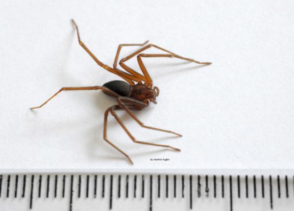 Paraná teve mais de quatro mil acidentes com aranha-marrom