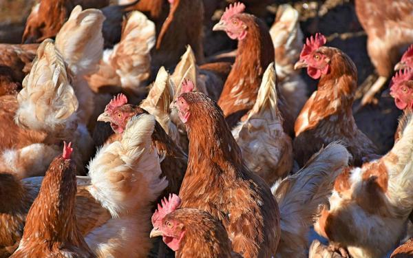 3 mil galinhas se juntam para matar raposa invasora na França