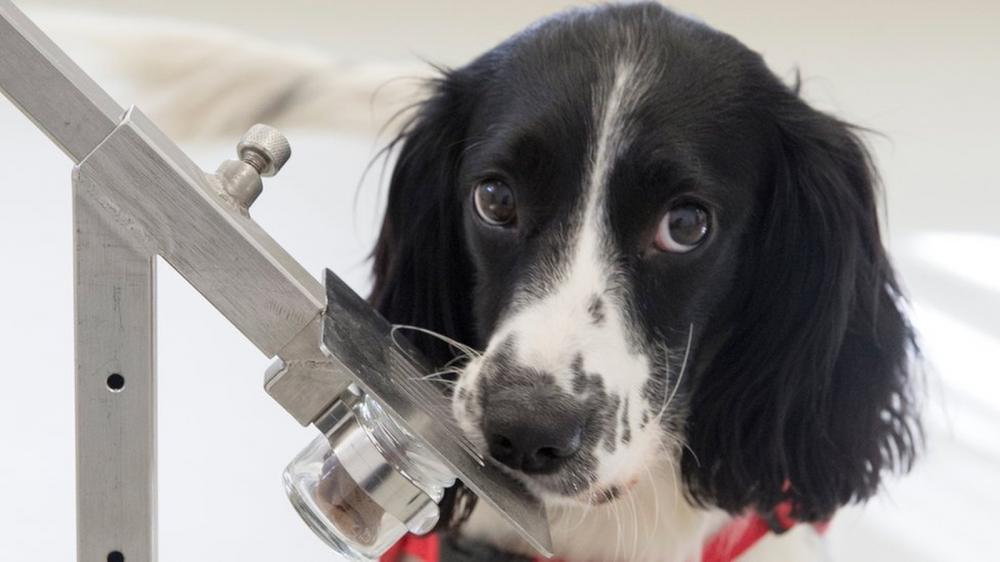 Freya, cachorrinha Springer Spaniel — Foto: Medical Detection Dogs